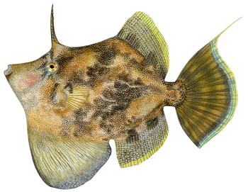 Monacanthus chinensis fan bellied leatherjacket for Leather jacket fish